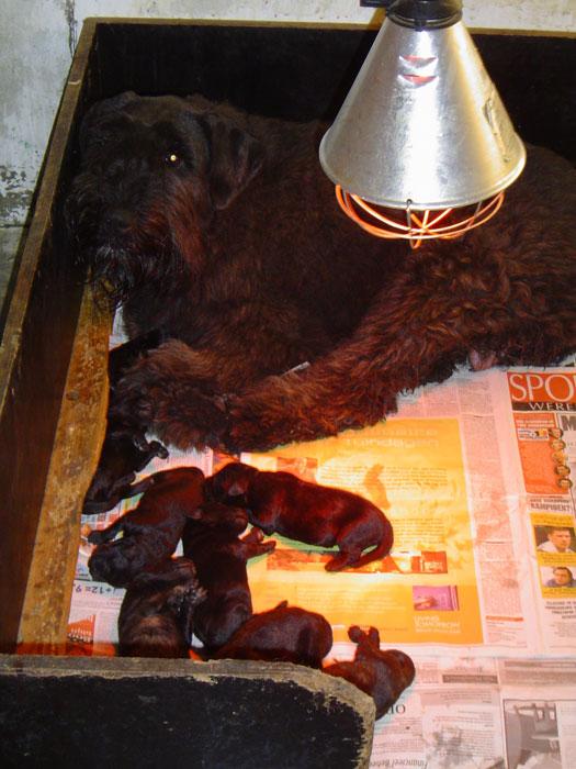 Bouvier pups week 1