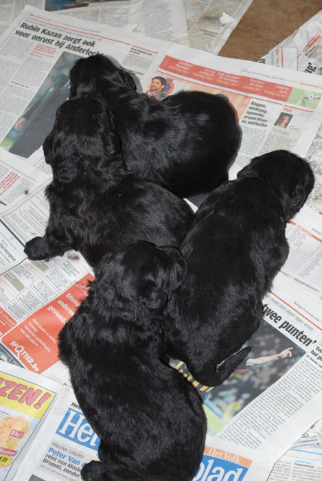 Bouvier pups week 2