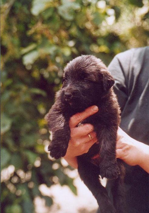 Bouvier pups week 3