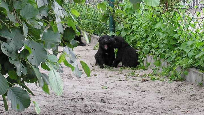 Bouvier pups week 4