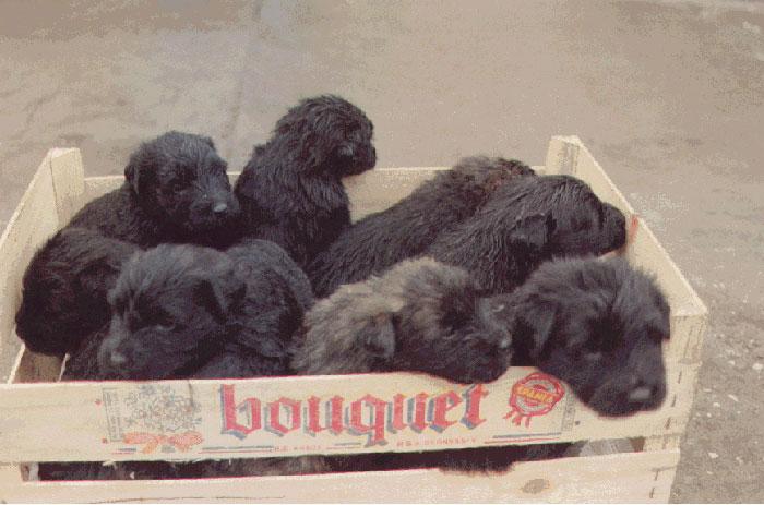Bouvier pups week 5