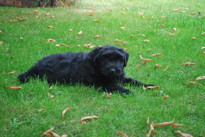 Bouvier pups week 6