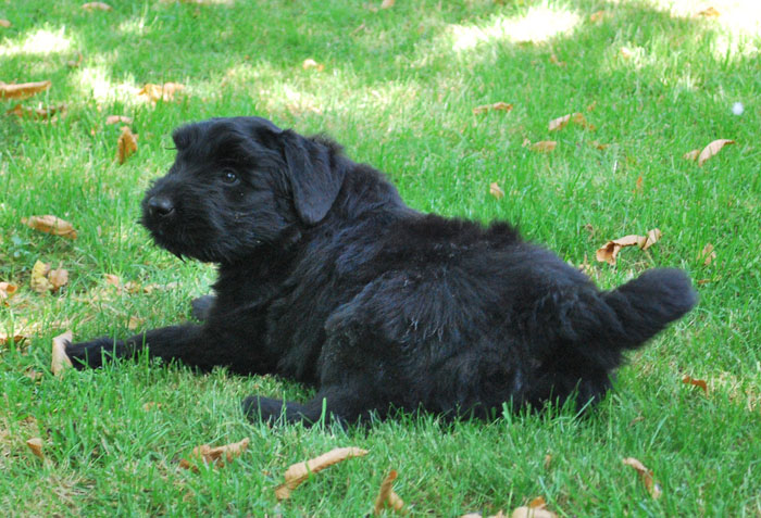 Bouvier pups week 7