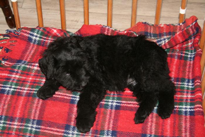 Bouvier pups week 8